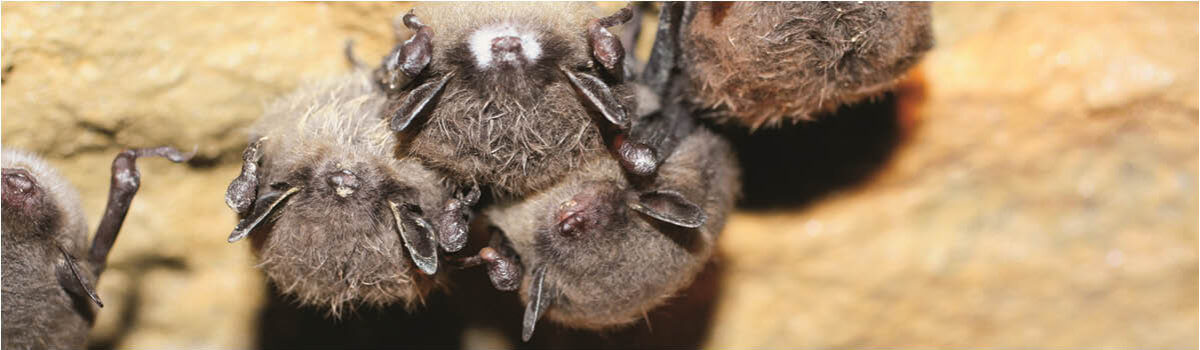 Going To Bat For Wildlife: Wind Energy's Conservation Effort An increasing number of North American bat species are deemed threatened  or endangered. Fortunately, clean energy and bat conservation can coexist.